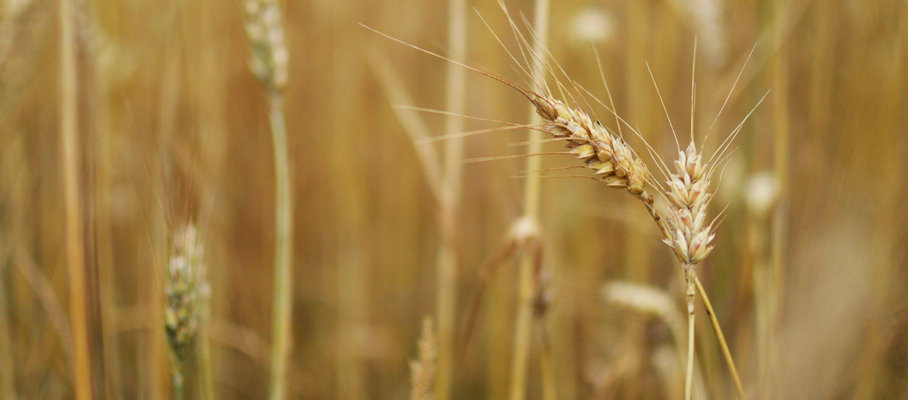 L'Algérie a-t-elle refoulé une cargaison de blé argentin ?