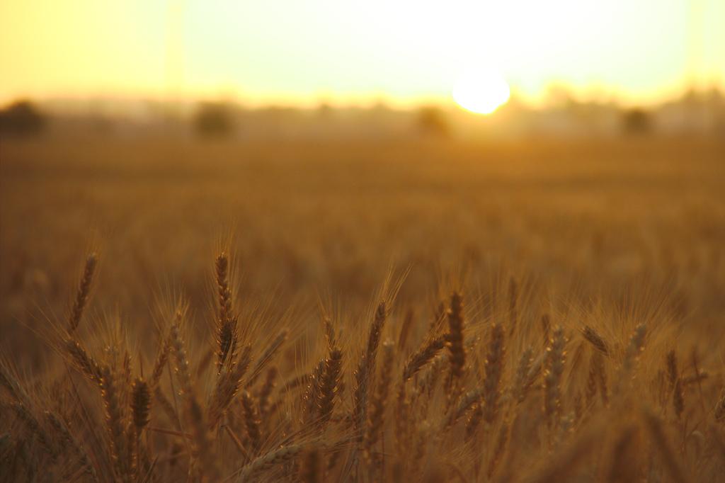 La production de blé tunisien en chiffres