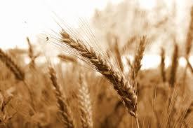 Comment l'Egypte peut-elle palier au manque de blé ?