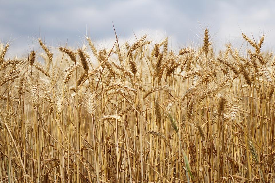 Egypte : Pourquoi le gouvernement achète t-il du blé par millions de tonnes ?