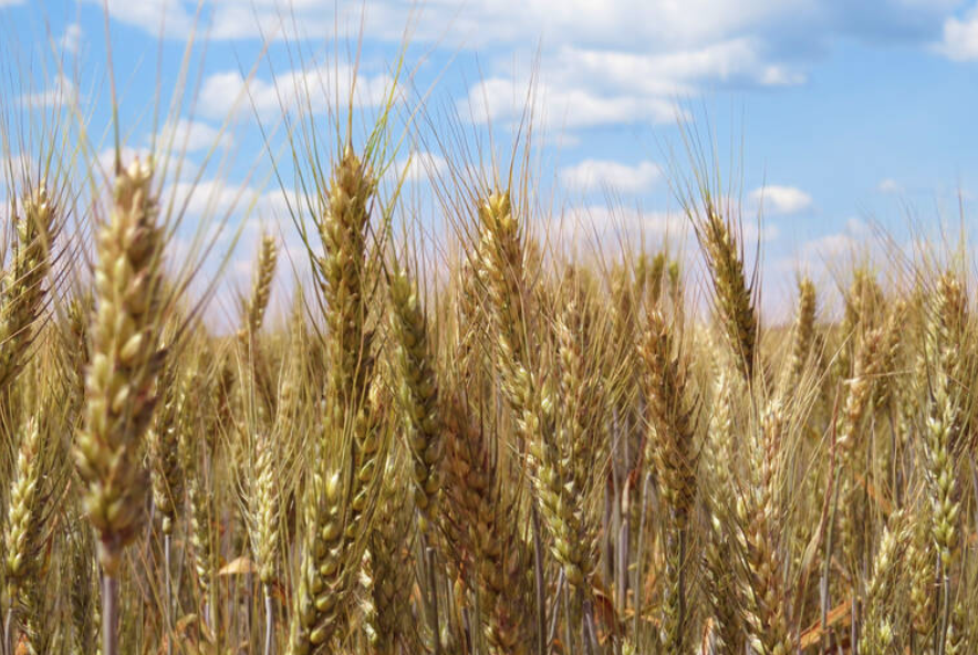 Coronavirus : La production mondiale de céréales est à son maximum. Le Grenier du monde est plein et heureusement