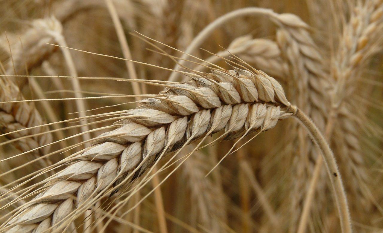 Baisse de la production de céréales en Algérie au premier semestre 2016