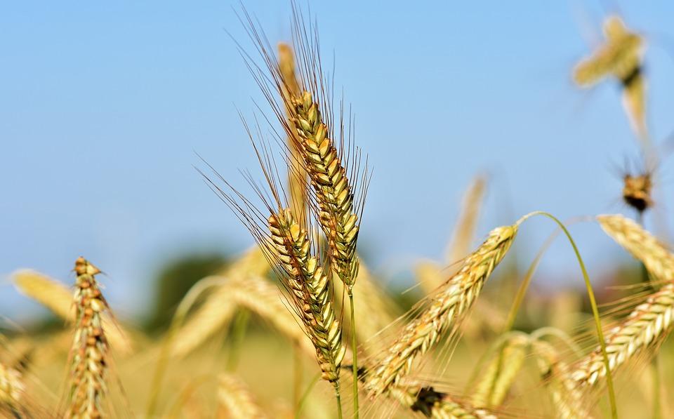 Egypte : L'Inde va fournir en blé le pays. La demande intérieure est forte
