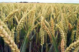 L'Egypte veut créer une bourse pour les matières agricoles ( blé, sucre, maïs et riz )