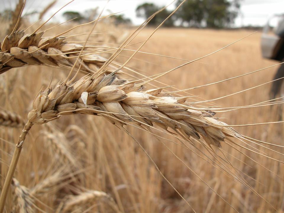 En Tunisie, la récolte céréalière s'annonce mauvaise…