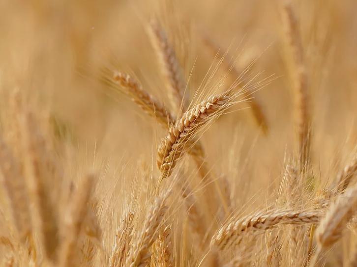 Egypte : Les réserves stratégiques de blé sont évaluées à 3,5 mois