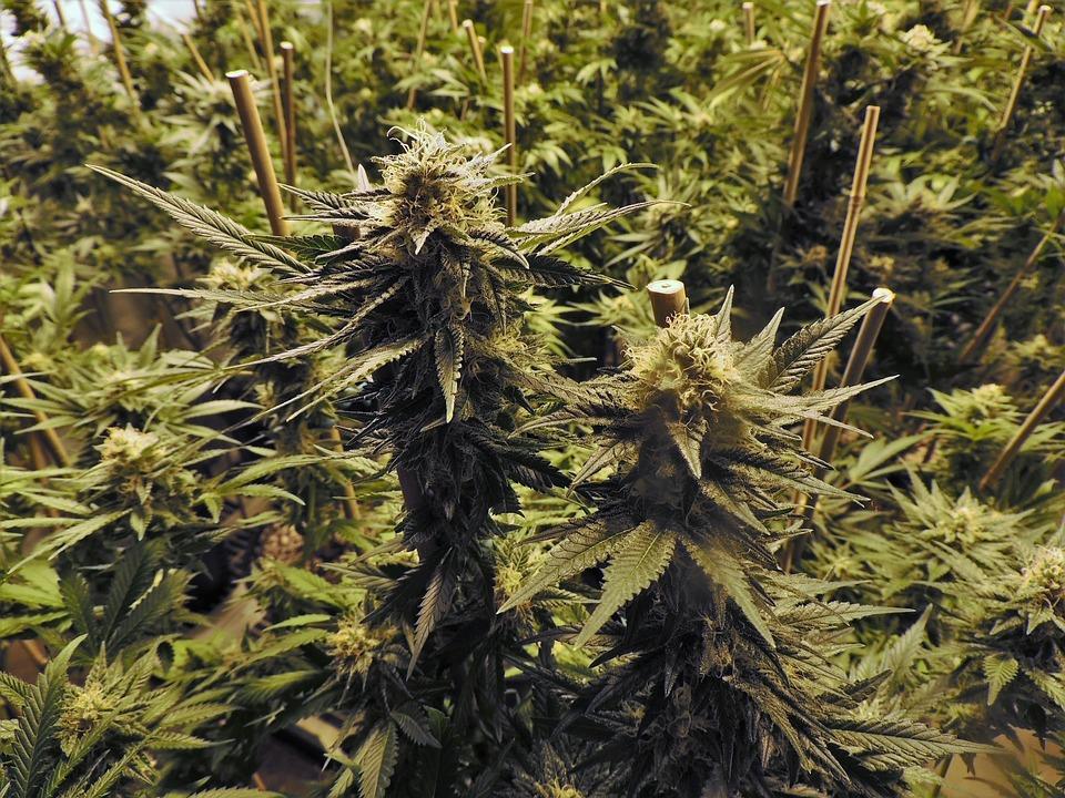 Au Maroc, la production de cannabis représenterait 23% du PIB