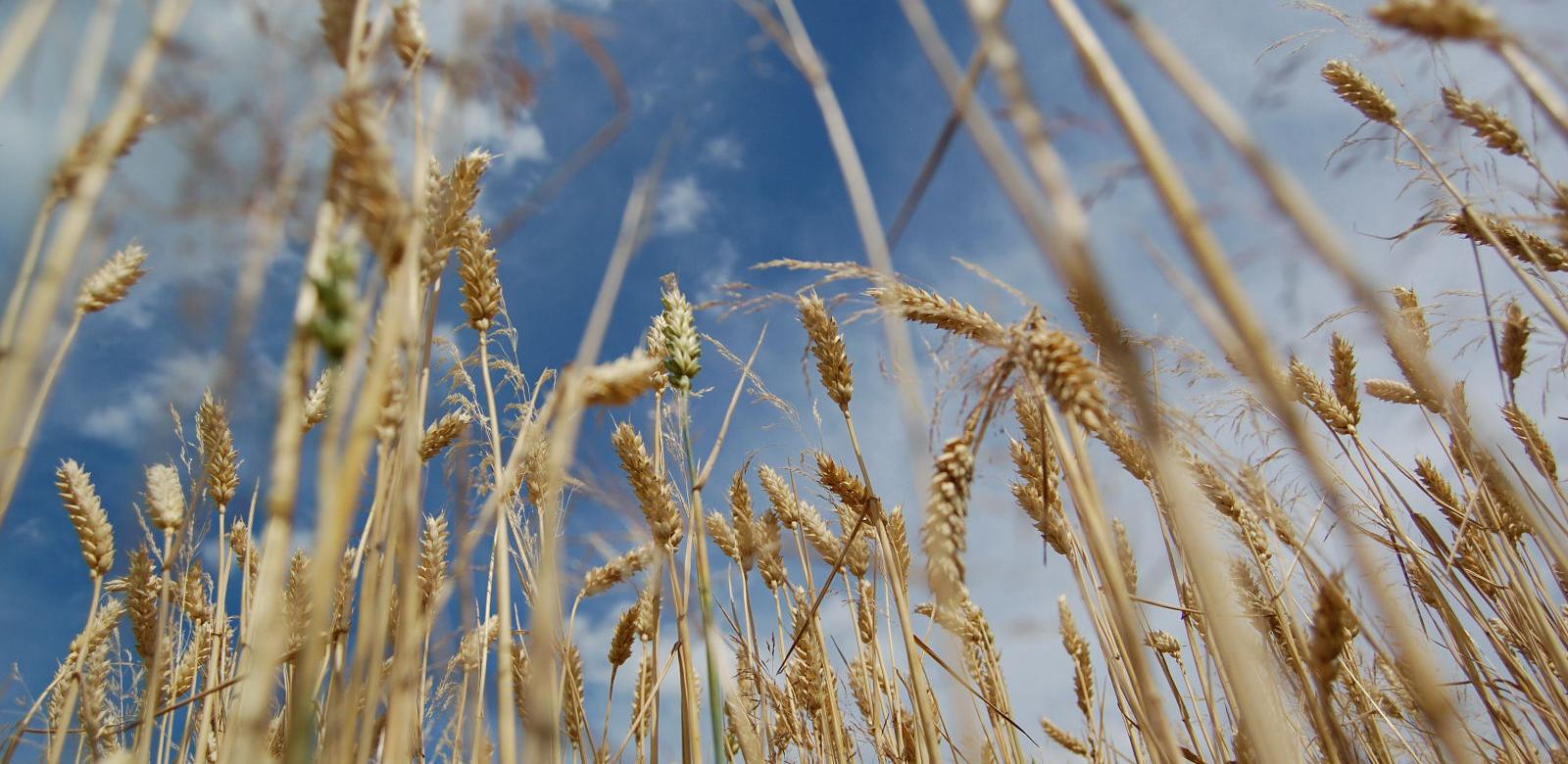 L'Algérie enregistre une production de céréales de 3,5 millions de tonnes en 2017