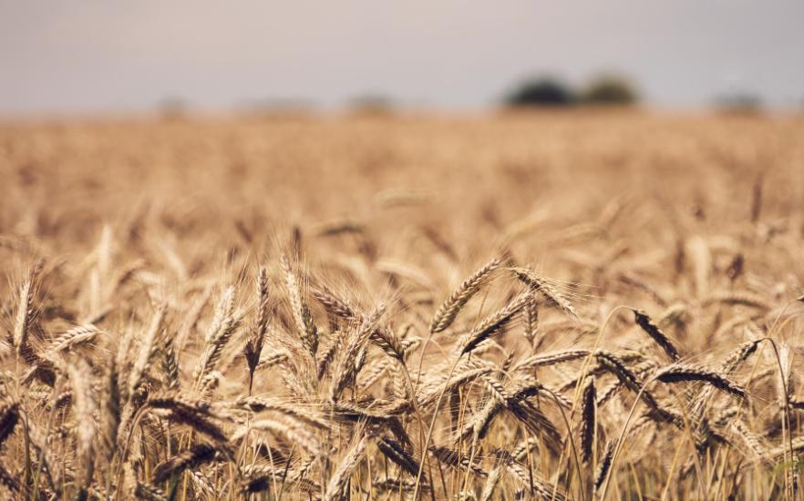 L'Egypte veut revoir ses modalités d'importation de blé pour augmenter ses réserves stratégiques