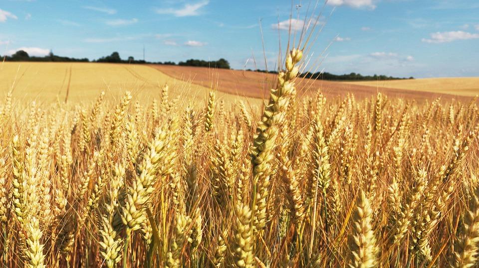 Le Maroc et l'Algérie importent de façon importante le blé français