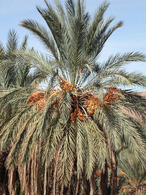 Le palmier dattier : un secteur névralgique pour la Tunisie