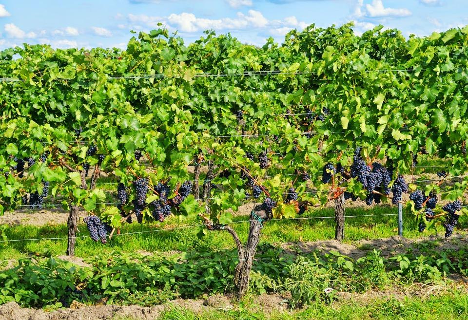 Le secteur viticole libanais retrouve des couleurs