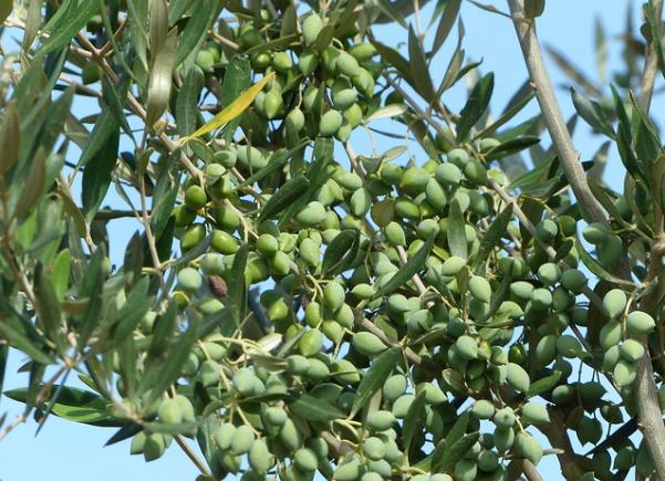 La Tunisie veut doubler ses exportations d'huile d'olive vers l'Europe soit 100 000 tonnes
