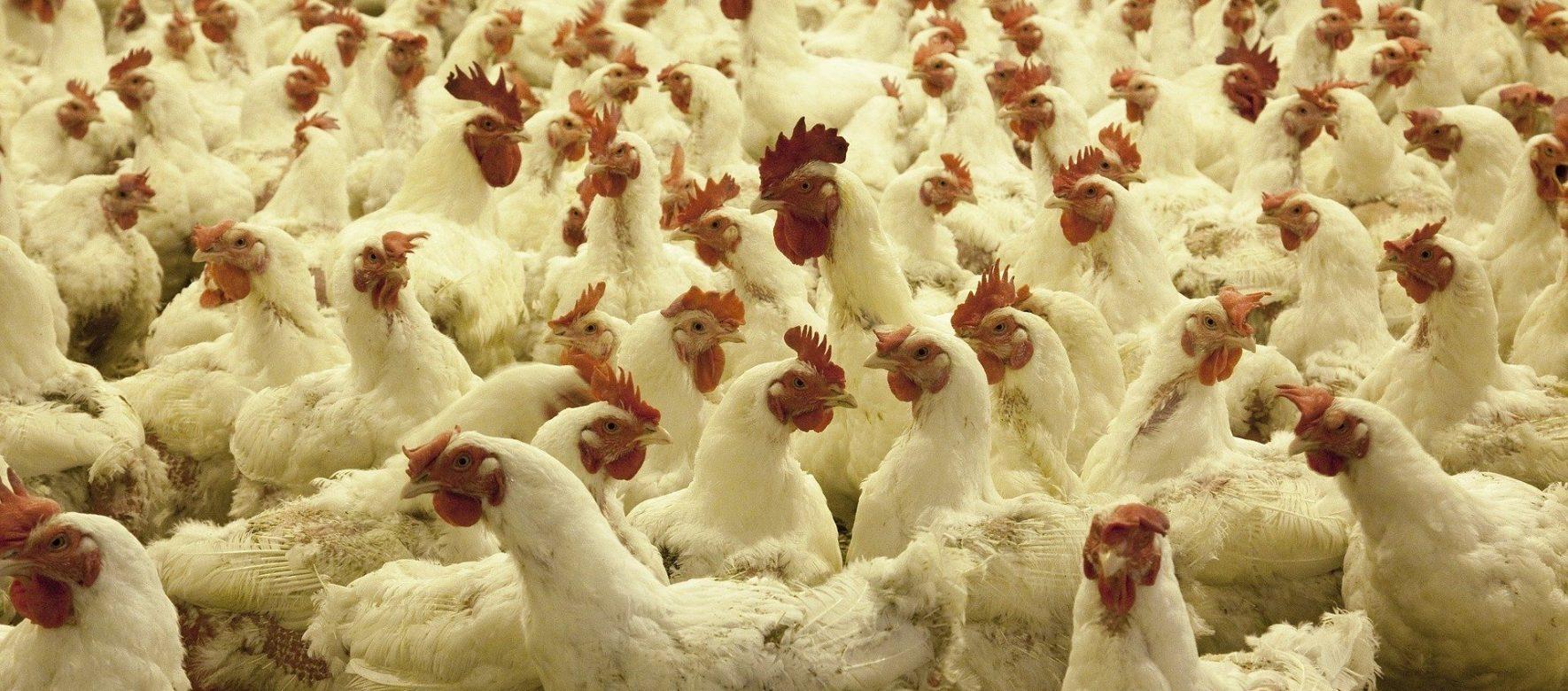 Maroc : L'industrie avicole paie un lourd tribut dans la crise du coronavirus