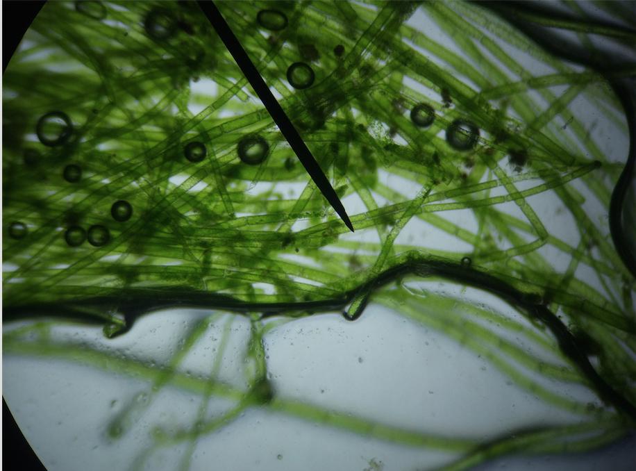 Des algues peuvent-elles révolutionner le secteur automobile ?