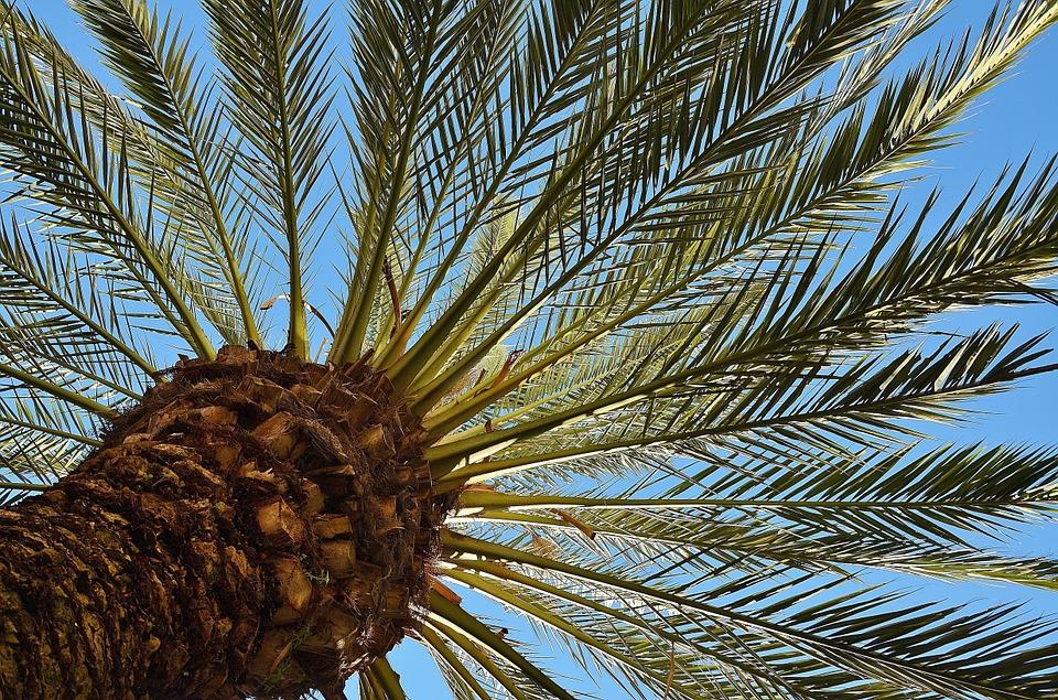 La datte en Tunisie s'exporte plus que jamais