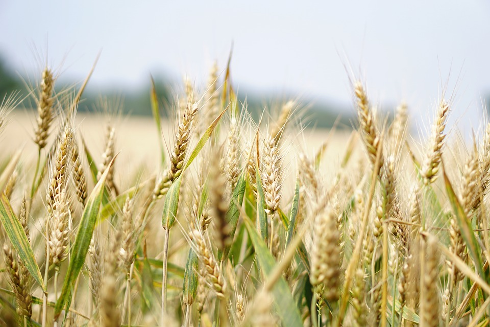 Egypt could be moving towards a new wheat crisis. 2