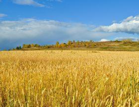 Egypte : L'engouement pour le blé russe atteint des sommets