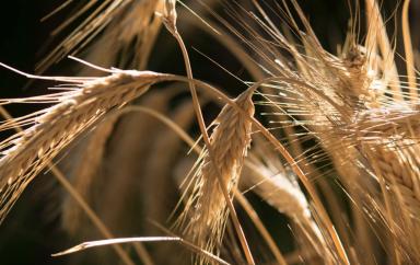 L'Egypte a importé 2,4 millions de tonnes de blé entre juillet et août 2020, soit une hausse de 40 % par rapport à 2019