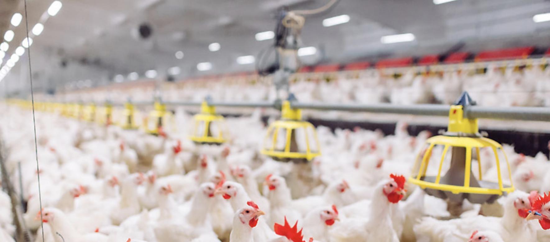Egypte : La compagnie agroalimentaire Cairo 3A veut investir 450 millions de $ dans une unité de production de volaille