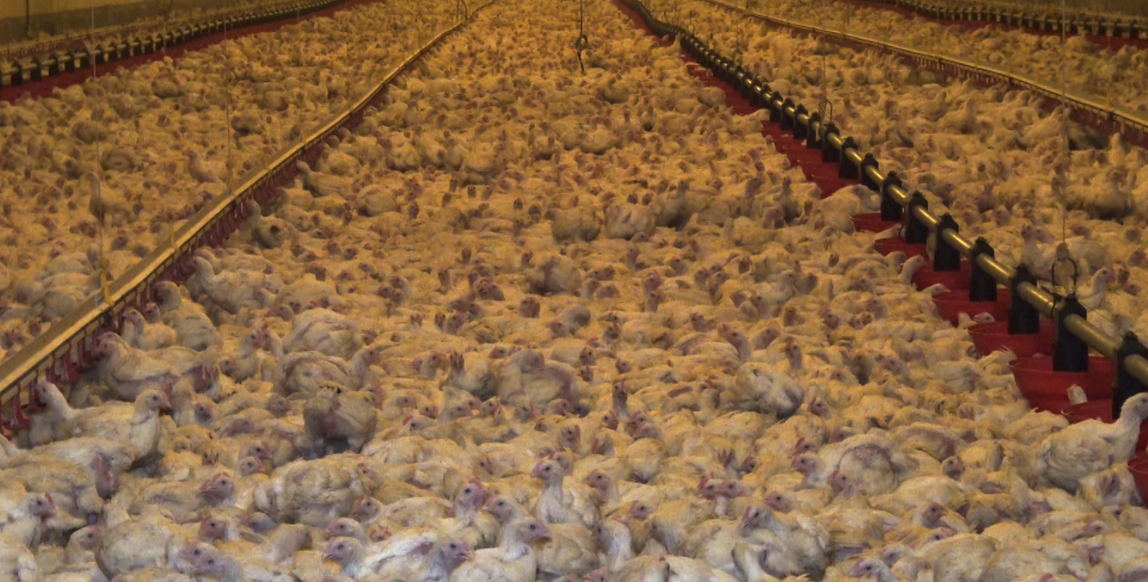 Israël : La compagnie israélienne Agrotop va construire la plus grande ferme avicole d'Afrique de l'Ouest en Côte d'Ivoire
