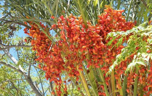Algérie : La demande mondiale pour la production de dattes et de produits dérivés est trois fois supérieure à la quantitié actuellement offerte 1