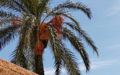 Algérie : La demande mondiale pour la production de dattes et de produits dérivés est trois fois supérieure à la quantitié actuellement offerte