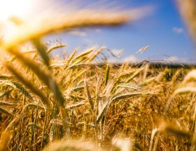 Egypt intends to acquire 4 million tonnes of wheat to secure its imports