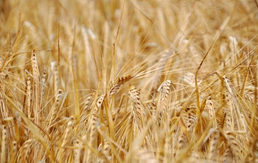 L'Égypte compte acquérir 4 millions de tonnes de blé pour sécuriser ses importations 1