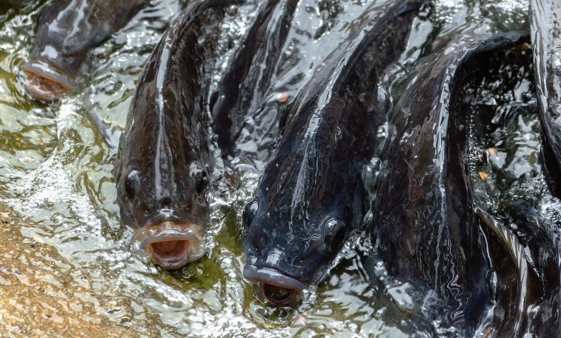 Algérie : Cosider Agrico investit dans une ferme aquacole pour l'élevage du Tilapia à Djelfa