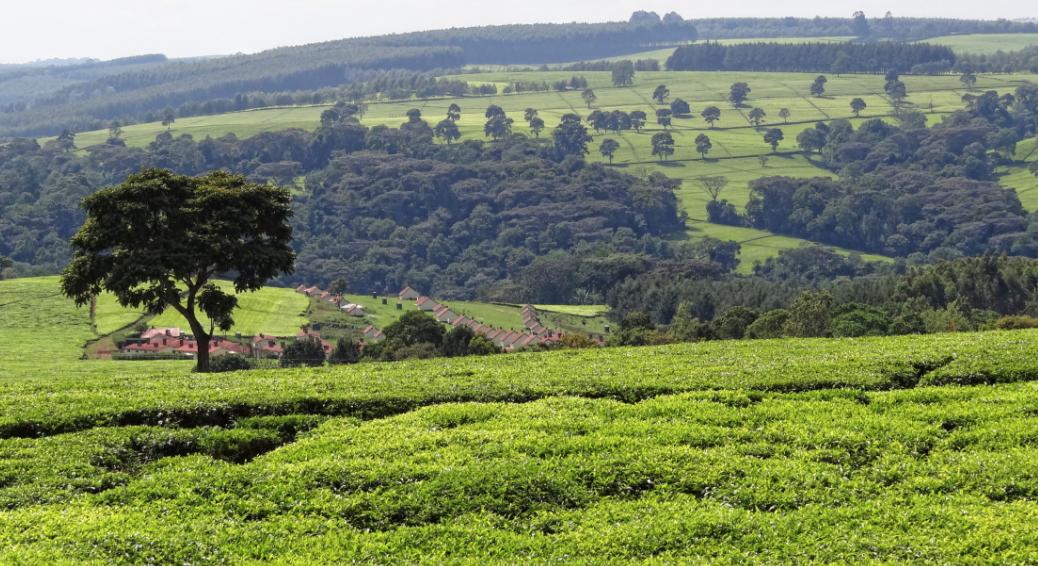 Les Emirats Arabes Unis deviennent le premier importateur de thé du Kenya devant le Royaume-Uni et l'Egypte