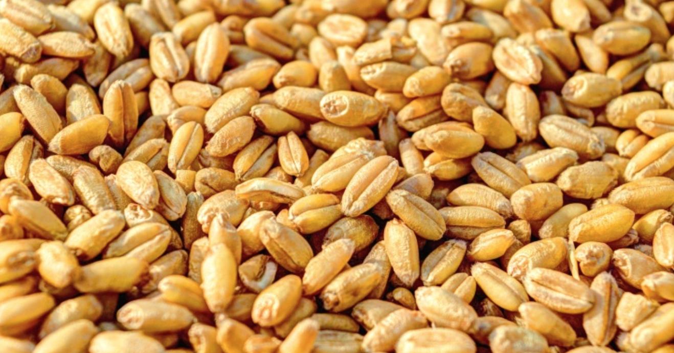 Algérie : Les autorités ont d'interdit l'entrée d'une cargaison de 27000 tonnes de blé français pour raison de non-conformité aux exigences phytosanitaires