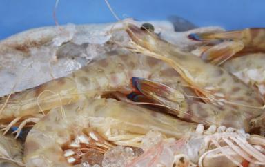 Maroc : Deux nouvelles usines de transformation de crevettes vont être installées dans le nord pour 40 millions d'€