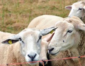 Aid El Adha: Les ventes de mouton ont chuté de moitié par rapport à 2019 en Algérie