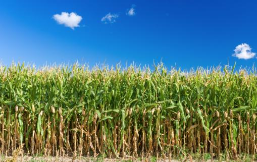 L'Egypte est le premier consommateur africain de maïs devant l'Afrique du Sud et le Nigeria