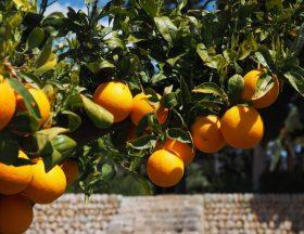 Le Maroc prévoit une récolte de 2,5 millions de tonnes d'agrumes en 2021/2022. La filière compte pour 20 % des recettes d'exportation agricole et emploie 150000 personnes