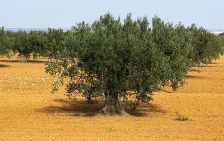 Tunisie : La Compagnie Générale des Industries Alimentaires grâce à un nouveau prêt de 6 millions d'€ va pouvoir renforcer ses exportations d'huile d'olive